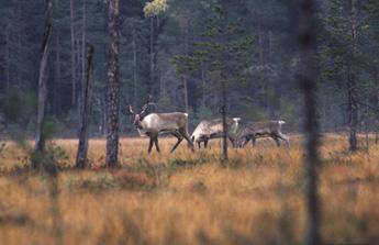 På sommaren trivs skogsvildrenen på frodiga myrar. Bild: Ari Meriruoko