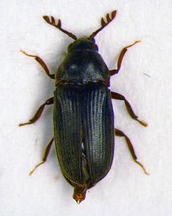Skalbaggen Aulonothroscus laticollis. Bild: Forststyrelsen/Jaakko Mattila