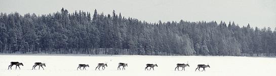 Skogsvildrenar på isen. Bild: Risto Sauso.