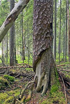 Pyhä-Häkki nationalpark. Bild: Mikael Hintze