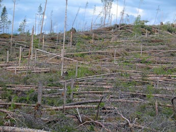 Tromben knäckte träd på ett stort område. Bild: Marko Haapalehto