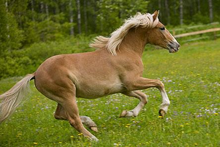 Finsk häst. Bild: Kirsti Hassinen