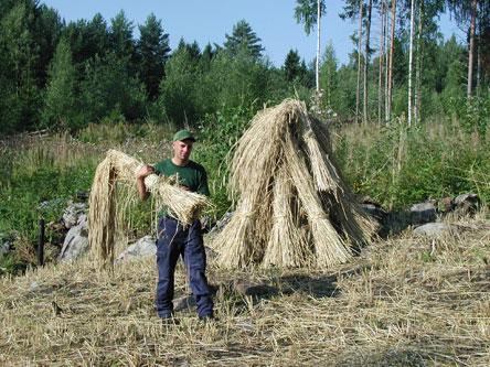 Då säden har torkat tas den ner och förs till rian för att tröskas.Bild: Hanne Liukko