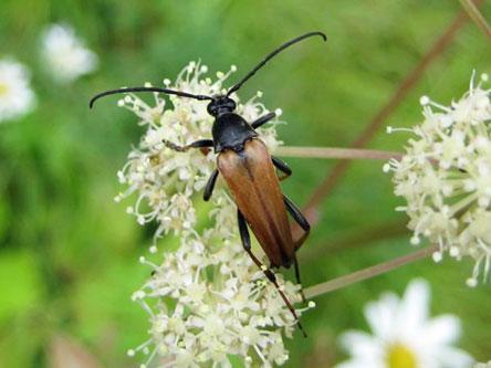Den håriga blombockens larver lever på murknande tallved på solexponerade platser och de fullvuxna äter av blommornas nektar och pollen. Bild: Jaakko Mattila