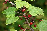 giftiga bär som liknar röda vinbär