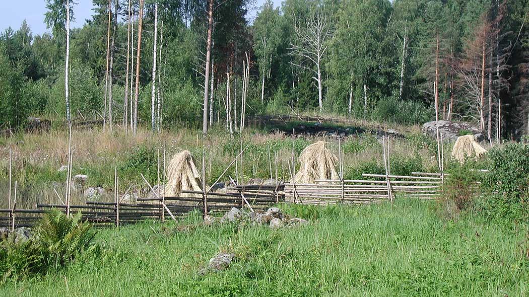 Torpets gårdsplan sköts genom slåtter. Höet är uppsatt i skylar. Bild   Hanne Liukko 66ef8d83b4